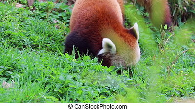 Red Panda (Ailurus Fulgens) Eating Grass, Also Called The...