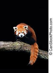 Red panda (Ailurus fulgens) isolated on black background.