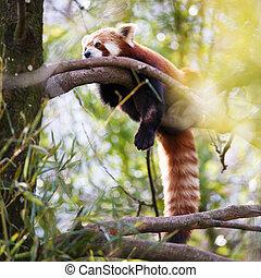 "Red panda (Ailurus fulgens, lit. ""shining cat"")"