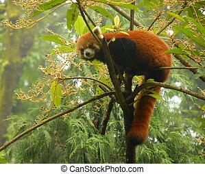 Red panda cimbing tree in India