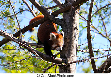 Red Panda climbing down tree. Ailurus fulgens - Adelaide...