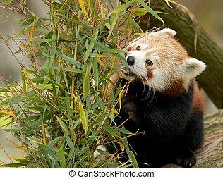 Red Panda eating Bamboo - Cute Red Panda eatings bamboo...