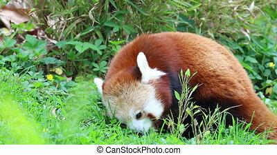 Red Panda Eating Grass Close Up