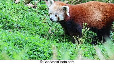 Red Panda Eating Grass