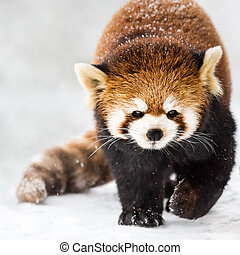 Red Panda in Snow II