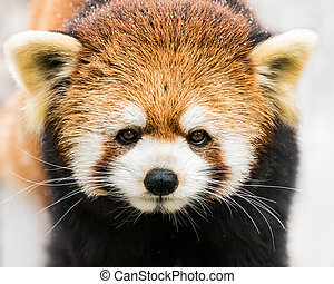Red Panda in Snow III