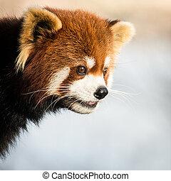 Red Panda IV - Profile portrait of Red Panda