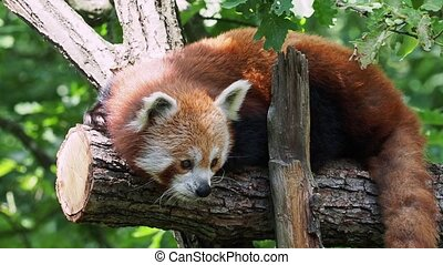 Red panda on the tree. Cute panda bear in forest habitat. Ailurus fulgens