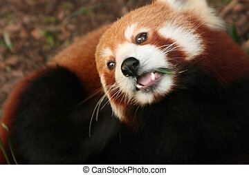 red panda or firefox