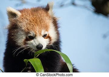 Red Panda, eating bamboo leaves