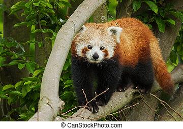 Red Panda - photo of a Red Panda walking along a branch