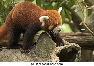 Red Panda, Endagered