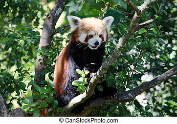 Red panda - Curious red panda sit on a tree.