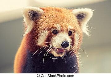 Red Panda - Portrait of a Red Panda, Firefox or Lesser Panda...