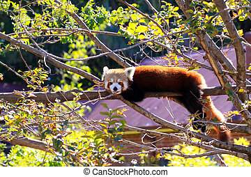 Red Panda poking its tongue out while resting on tree...