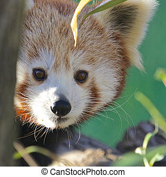 Red Panda Portrait - Portrait of a cute Red Panda, an...