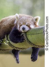 Red Panda Sleeping. This cute nocturnal animal asleep