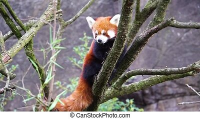 Red panda standing high in a tree looking around, Endangered...