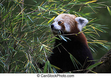 Red panda. Oldest zoos in Europe. Republic of Ireland.