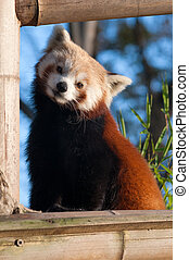 Red panda - Small red panda (Ailurus fulgens) looking at...