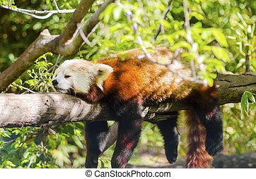 Red Panda - A beautiful red panda lying on a tree branch...