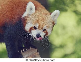 Red Panda - Portrait of Red Panda,Close Up
