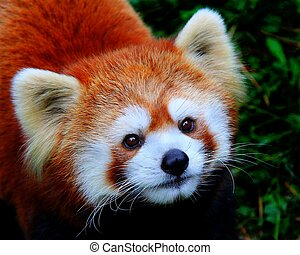 Red Panda - Portrait of Red Panda.