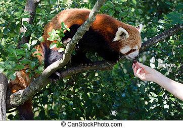 Red panda - Human hand feeds red panda on a tree.