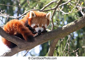 Red Panda Resting