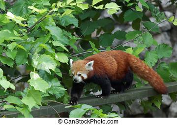 Red panda - Walking red panda in the park