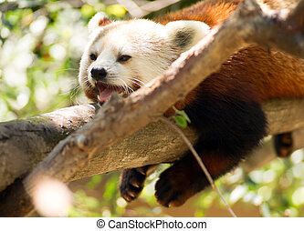 Red Panda Wild Animal Resting on Tree Limb - A Lessor Panda...