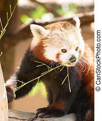 Red Panda Wild Animal Resting Sitting Tree Limb Feeding - A...
