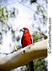 Red parot on the tree1