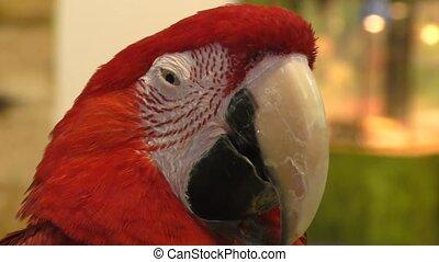 Red Parrot ARA