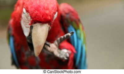 Red Parrot ARA sits on a branch