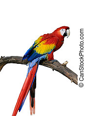 Red Parrot Isolated - A bright red, macaw parrot perched on...