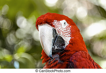 red parrot macaw looks at the camera closeup