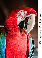 Red Parrot Macaw