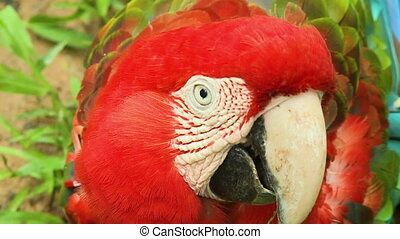 Red Parrot On Ground