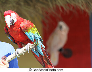 red parrot - a colorful parrot sitting on a stick held by a...
