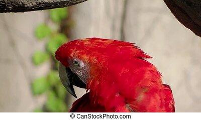 red parrot portrait close up