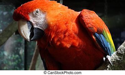 Red Parrot Wild Birds