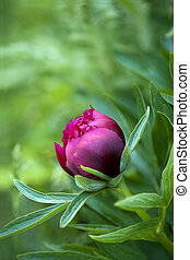 Red peony bud - close up of red peony bud