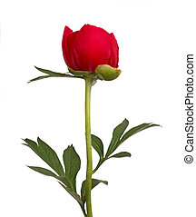 One single flower, stem and leaves of a a red peony (Paeonia lactiflora) against a white background