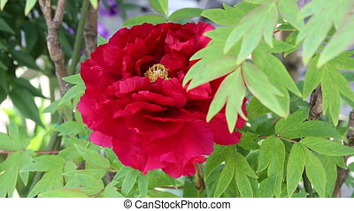 Red peony flower - Close up of peony flower in blossom...