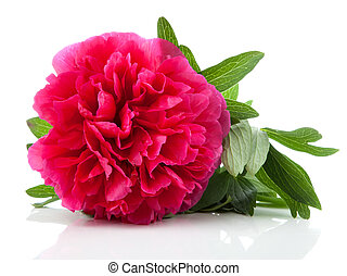 red peony flower isolated on white