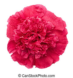 red peony flower isolated with clipping path