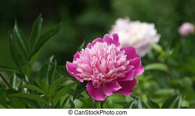Red peony flower on wind