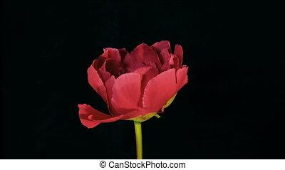 Red Peony Flowering Timelapse 4k