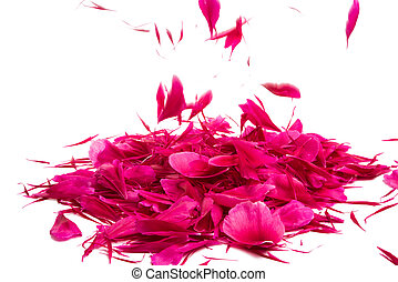 red peony petals isolated